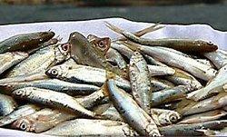 Pesce del Lago di Garda: Sarde
