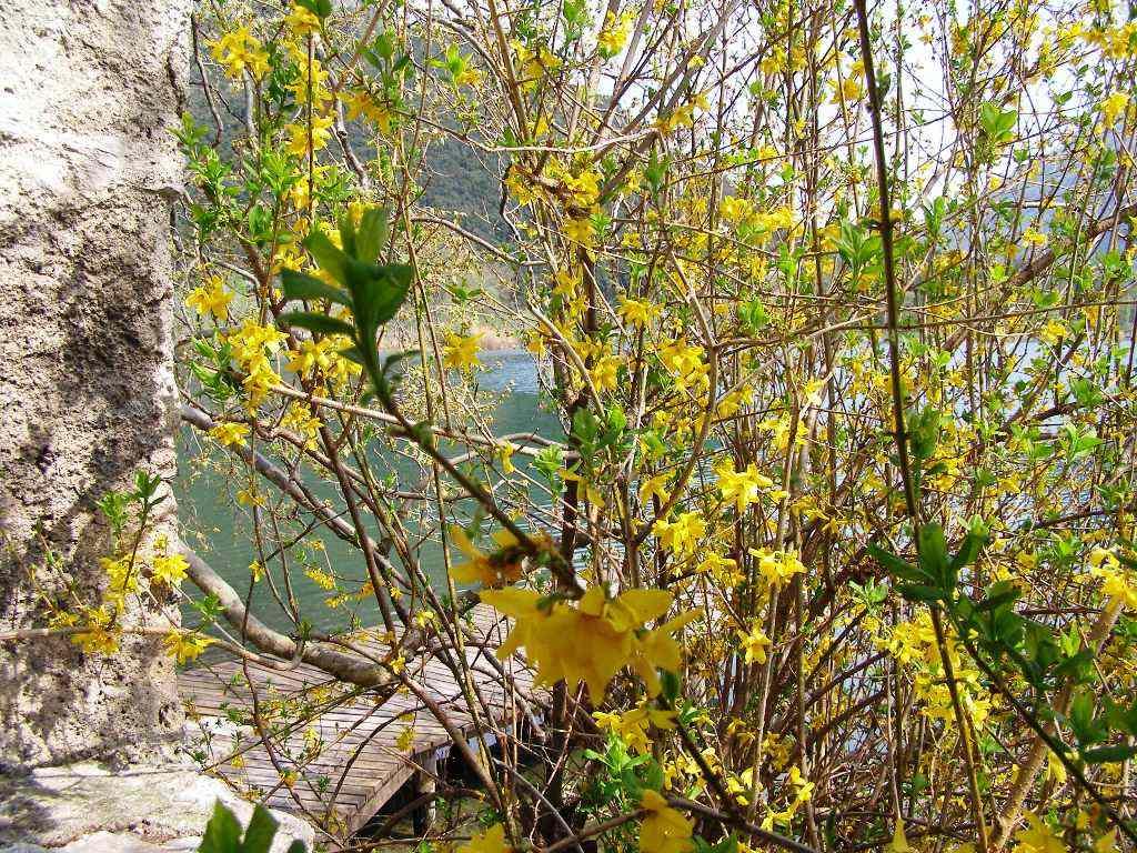 Fiori sul Lago di Garda: Ginestra