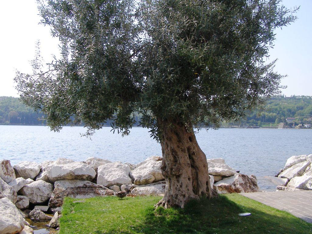 Ulivo a Salò sul Lago di Garda