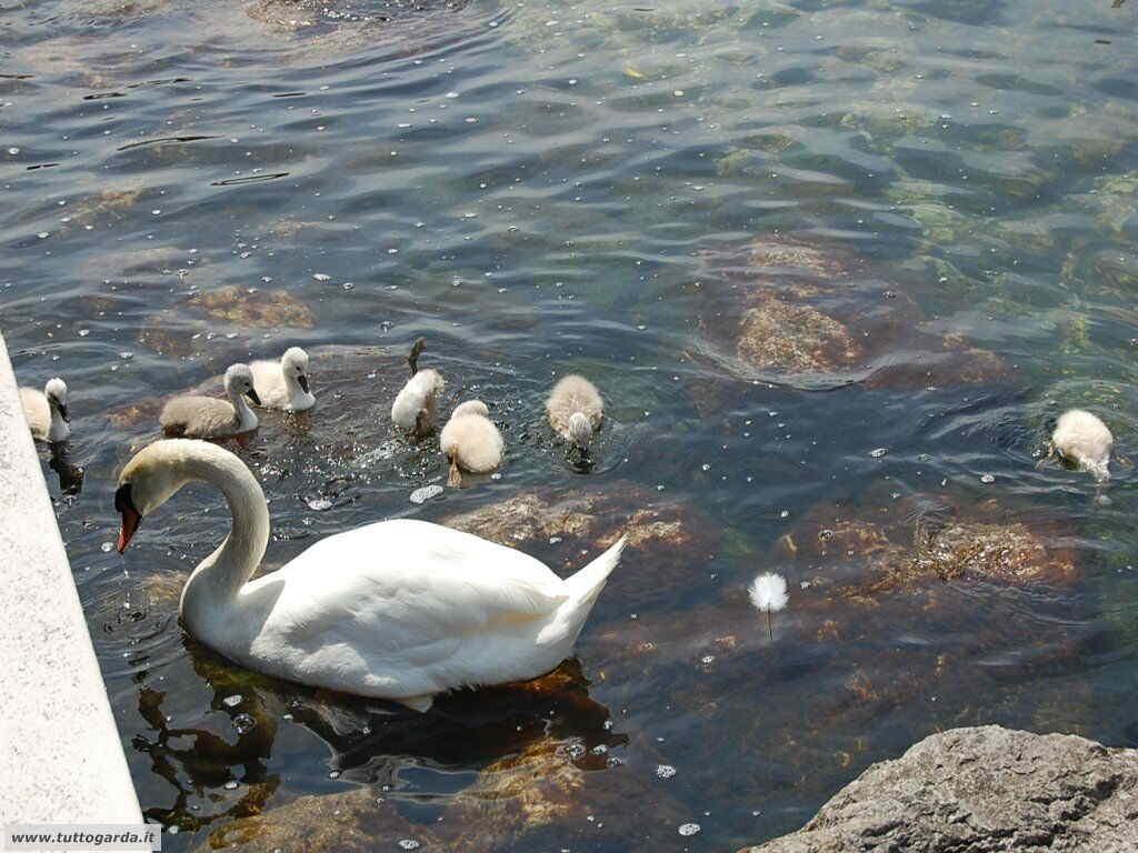 Cigni a Cassone (VR)  lago di Garda orientale